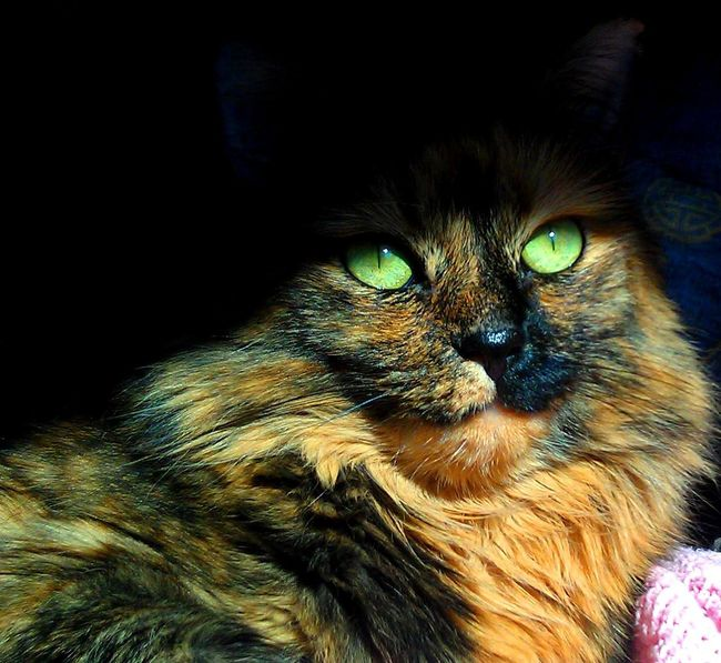 Cats Of EyeEm Close Up Cat Face Catitude Close-up Domestic Cat Green Eyed Cat No People Pets Purr-sonality Striking A Pose Tortoiseshell Cat Whisker Yellow Eyed Cat Carnivora Cat