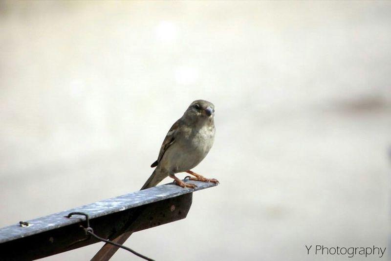 Sparrow Birdy Hot Day