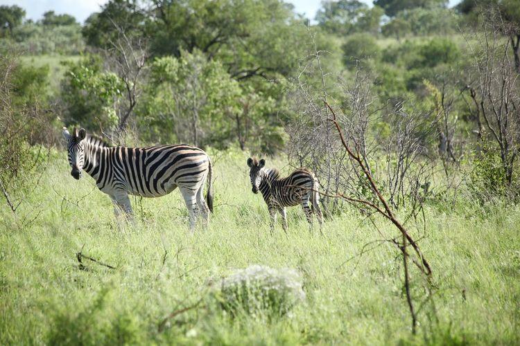 Animal Themes Animals In The Wild Nature Sabi Sands Safari Safari Animals Savannah South Africa Striped Two Animals Wildlife Zebra