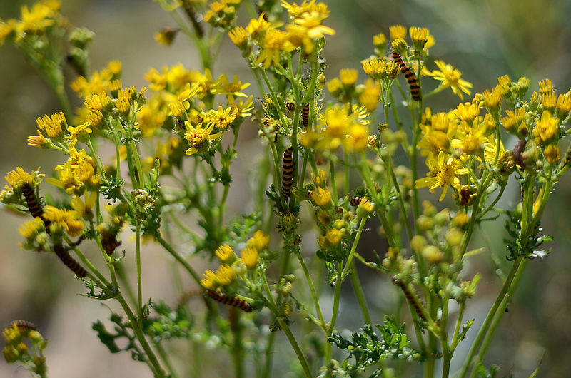 Close-up of caterpillars on yellow flowering plant