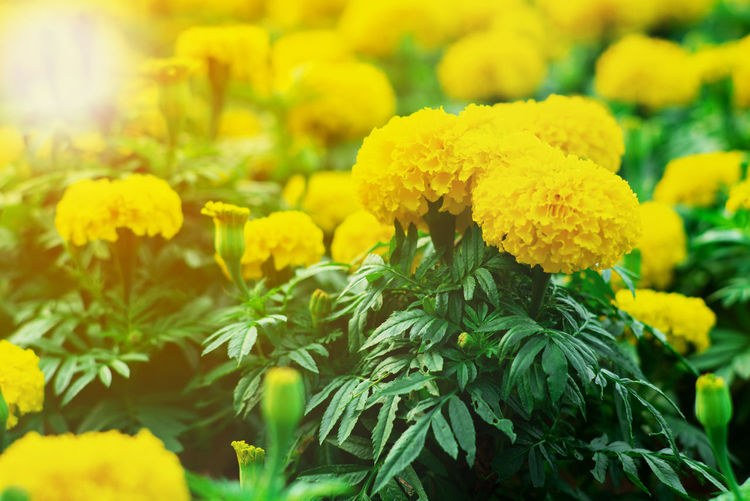 Close-up of marigold flowers on plant