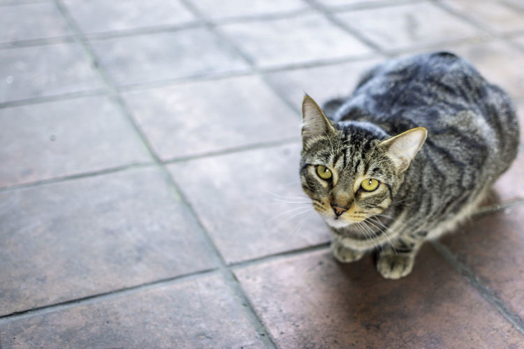 High angle portrait of tabby cat sitting on tiled floor