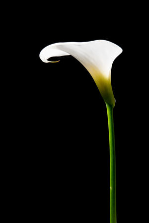 White calla lily at a black background White Lilly Black Background Calla Calla Lily Flora Flower Flower Head Fragility Studio Shot