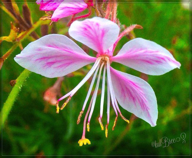 Bending for show Delicate Beauty Summertime Close-up Garden Photography Pink Flower Flowerporn
