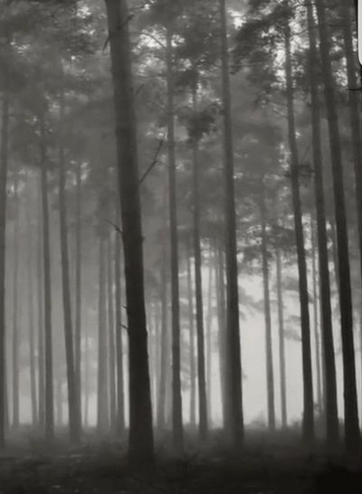 foggy forest Oregon Beauty The Oregon Collection Beautiful Oregon Black And White Forest Photography Outdoor Photography Forest Collection Tree Area Tree Wilderness Area Forest Fire Dawn Plant Part Fog Forest Hazy  Tree Trunk Power In Nature Mist Woods Sunrays Foggy Coniferous Tree Pine Woodland Evergreen Tree Atmospheric Pine Tree Birch Tree Pinaceae Spruce Tree