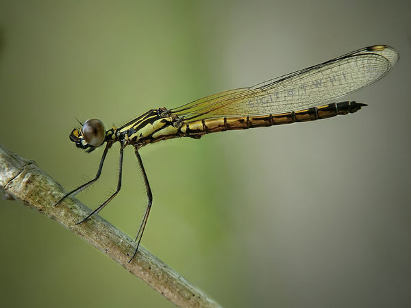 Odonata Insect Animal Wildlife Animals In The Wild No People Focus On Foreground Animal Themes Nature One Animal Side View Full Length Stereo Outdoors Day Damselfly Close-up Perching