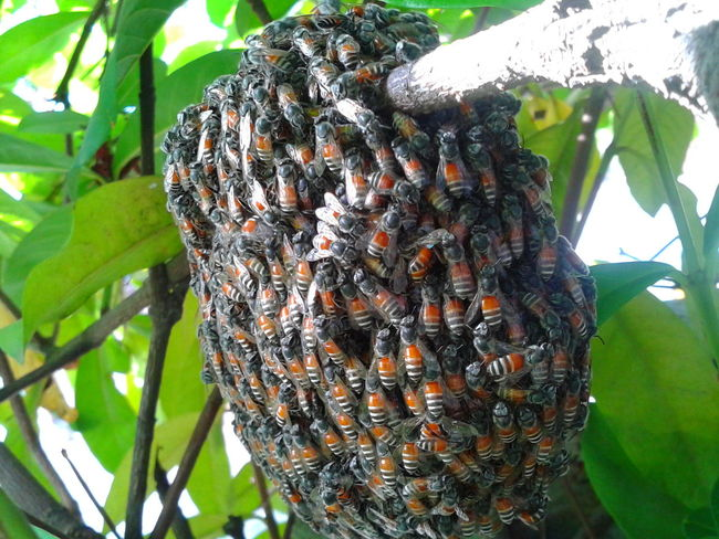 Animal Themes Animal Wildlife Animals In The Wild Beauty In Nature Branch Close-up Day Food Freshness Green Color Growth Honeycomb Insect Large Group Of Animals Leaf Nature No People Outdoors Plant Tree Beehive Honeybees Bees