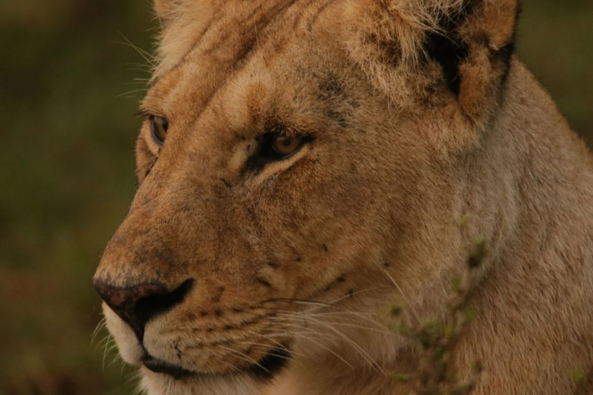 Female Lion Face Lion Animal Head  Animal Themes Animals In The Wild Close-up Day Focus On Foreground Lion Lion - Feline Lioness Mammal No People One Animal Outdoors Wildlife