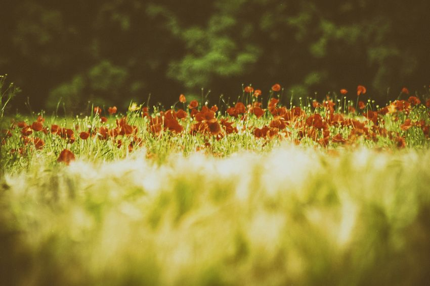 Growth Nature Flower Beauty In Nature Freshness No People Plant Grass Outdoors Close-up Day Fragility Lush - Description Klatschmohn 🍀 Mohnblume Mohnblumenfeld Germany EyeEm Selects EyeEm Best Shots EyeEm Gallery Eyeemphotography Deutschland Eyem Gallery EyeEm Eyemphotography