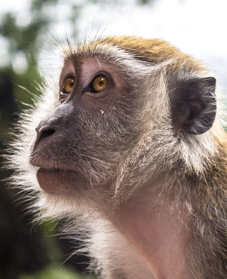 Backlight Backlit Beautiful Emotive Expressive Eyes Fauna Macaque Malaysia Monkey Natural Light Photography Personification Pondering Portrait Posing Quieting