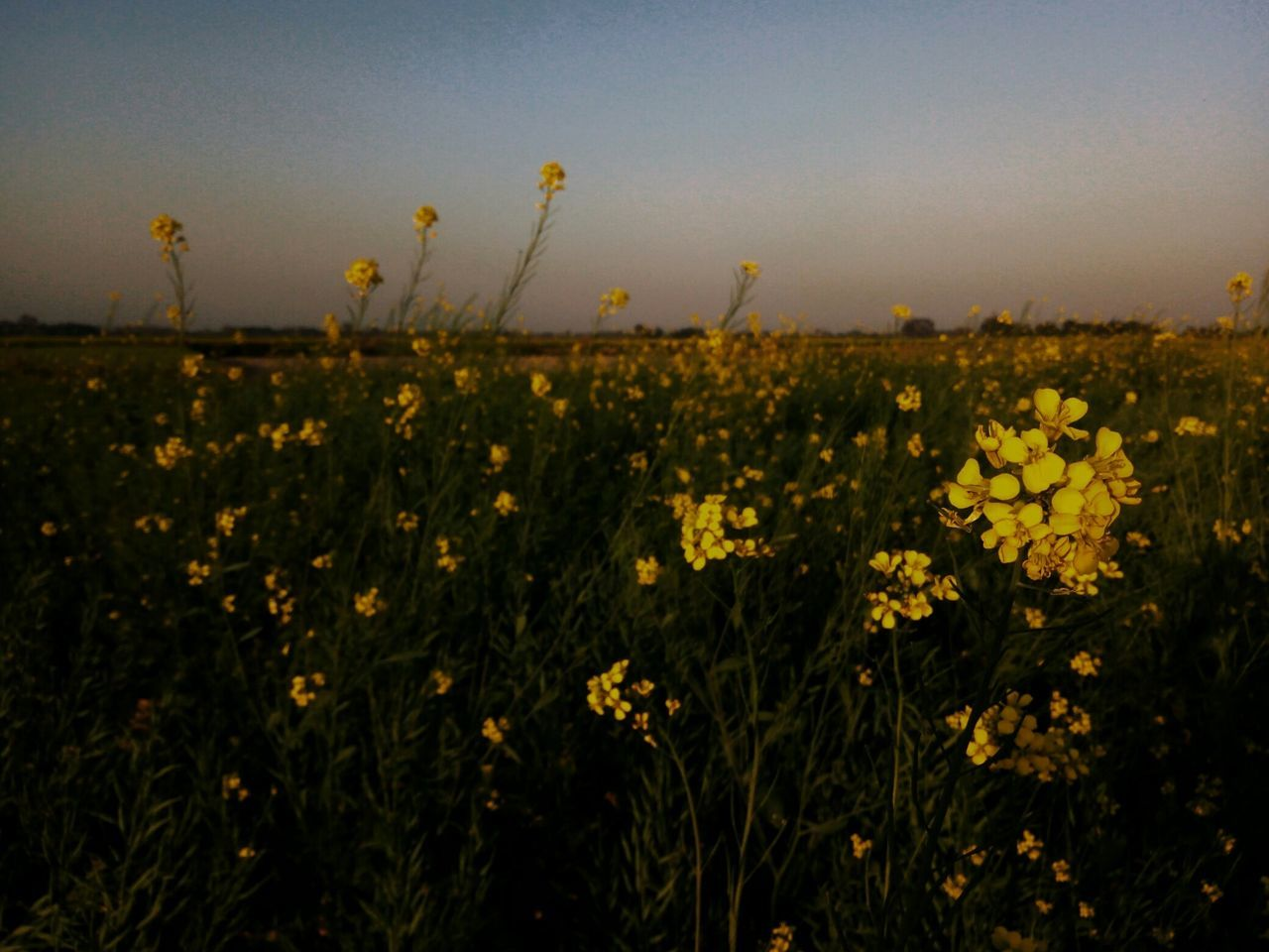 flower, nature, growth, yellow, plant, field, beauty in nature, agriculture, no people, tranquility, outdoors, rural scene, tranquil scene, oilseed rape, scenics, landscape, freshness, sunset, fragility, day, grass, sky, clear sky, close-up
