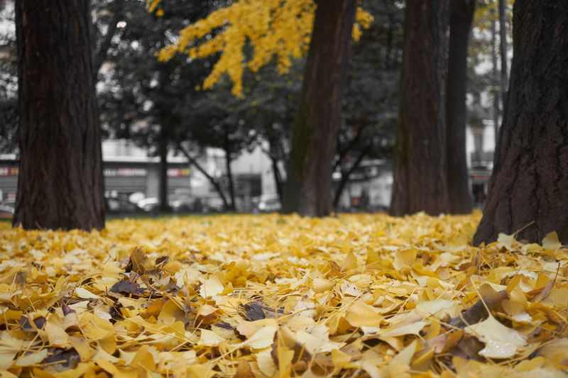 Embrace Urban Life Yellow Tree Nature Abundance Beauty In Nature Outdoors No People Day Autumn Leaves Nature On Your Doorstep Cityscapes