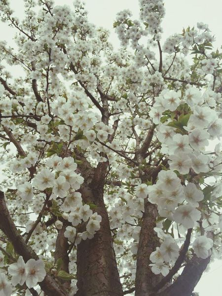 Favouritetimeoftheyear Blossom Flower Tree Beautiful Nature Nature Spring April Showcase Walk Home Chiswick London