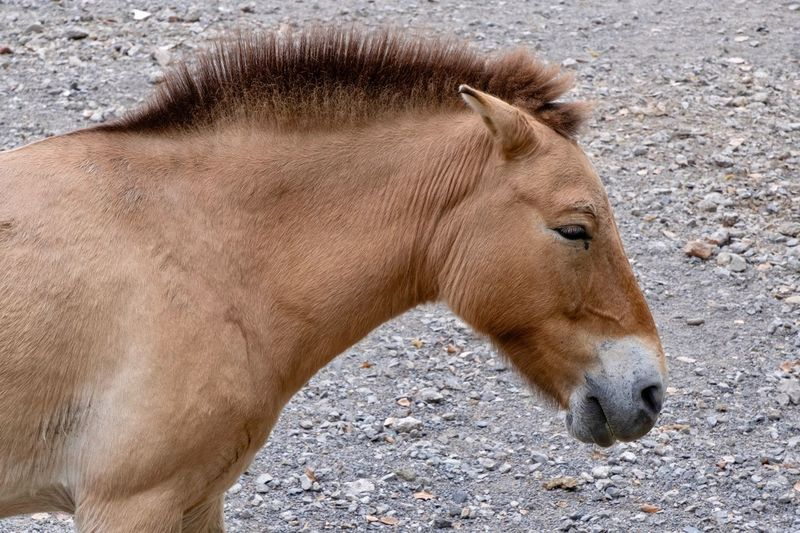 Animal Animal Themes One Animal Mammal Vertebrate Animal Wildlife Land Horse Animal Body Part Nature Side View High Angle View Close-up Brown Animals In The Wild No People Domestic Animals Day Livestock Pets