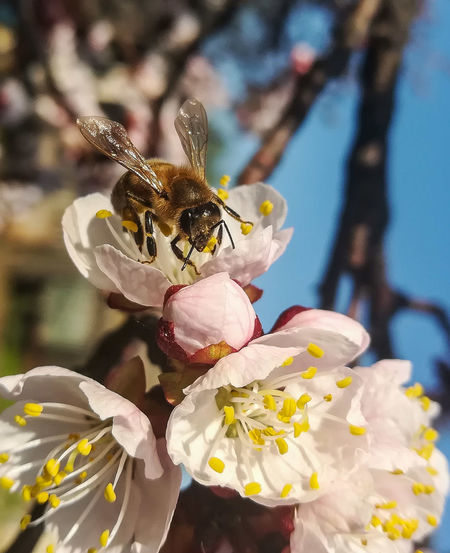 May Bee Honeybee Approaching Flower Honeybee On Flower HoneyBee Sun Sunset Colors Color Apricot Apricot Flower Apricot Color ApricotBlossom Flower Flower Head Perching Insect Bee Petal Close-up Animal Themes Plant