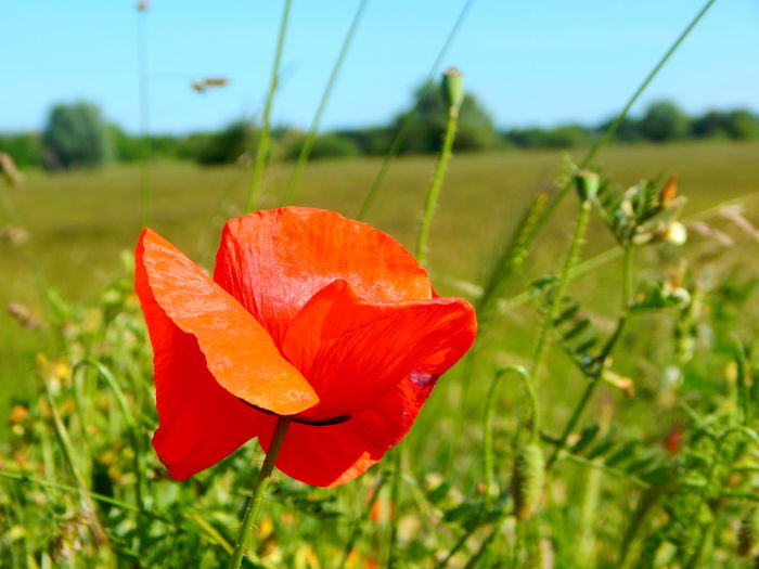 Beauty In Nature Blooming Flower Flower Head Freshness Grass Green Color Growth Nature No People Outdoors Plant Poppy Red