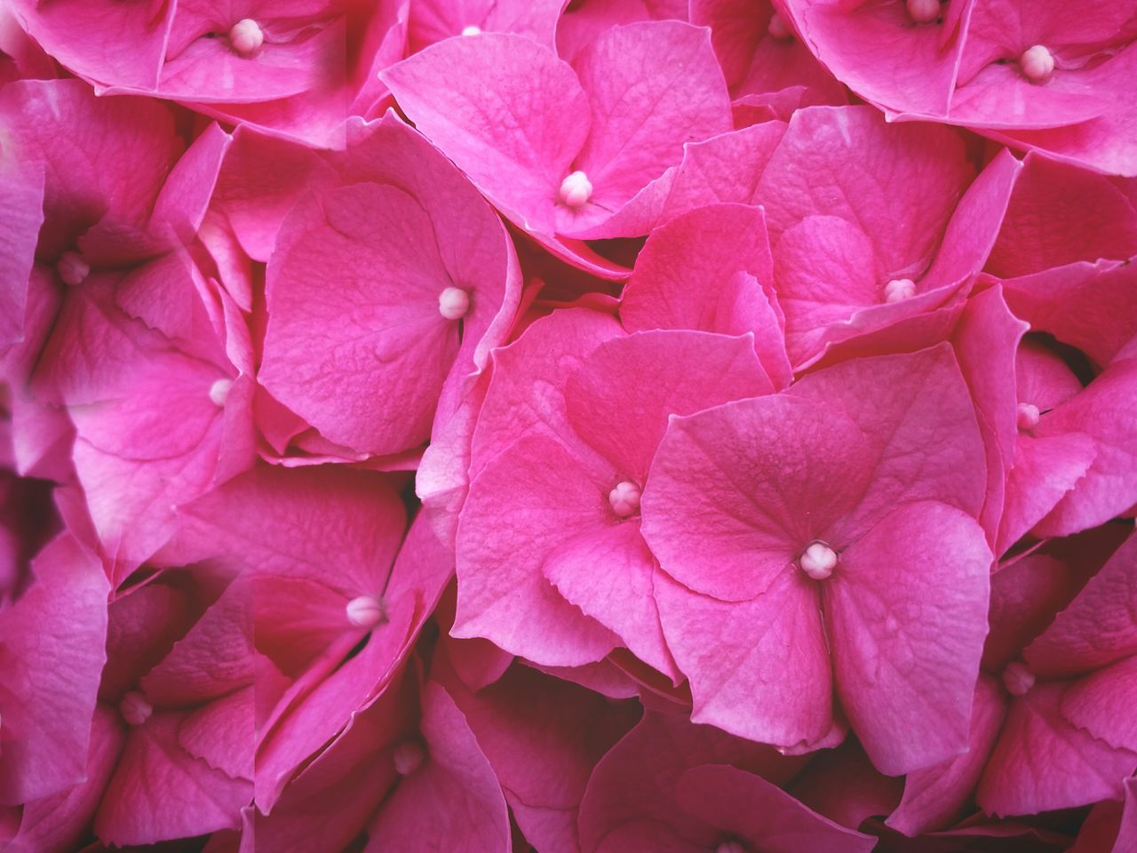 Full Frame Shot Of Pink Hydrangea