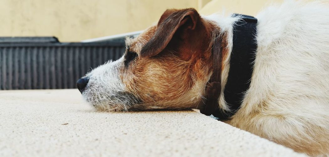 Pets Dog Lying Down Cute Ear Animal Hair Close-up Animal Body Part