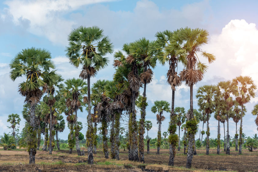 Toddy palm, landscape view of sugar palm tree with blue sky Beauty In Nature Cloud - Sky Day Environment Field Growth Land Landscape Nature No People Outdoors Palm Tree Plant Scenics - Nature Sky Tranquil Scene Tranquility Tree Tree Trunk Treelined Tropical Climate Trunk