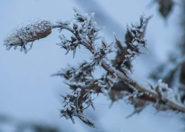 Tree Nature Branch Winter No People Cold Temperature Growth Low Angle View Outdoors Close-up Sky Beauty In Nature Snow Day Thistle Ice Icy Ice Crystals Frost Frosty Frozen Cold Morning Frosty Mornings Cold Fragility