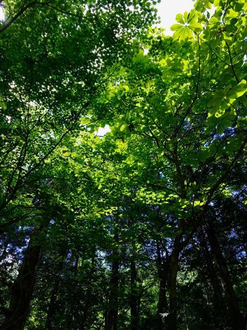 Subject : The Fresh Green Leaves of an Unkown Tree by the Roadside. Beauty In Nature Nature Forest Tree Leaf Green Color Growth Freshness Day Outdoors No People Low Angle View . Taken in Higashi-Hiroshima , Japan on May 23, 2017 ( Submitted on June 20, 2017 )