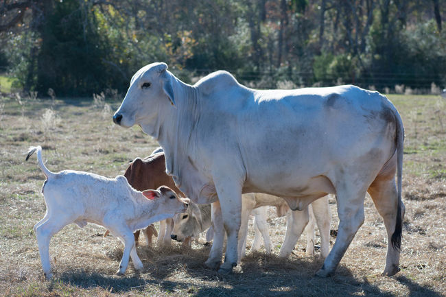 close up of a Brahma cow and her calf Brahma Livestock Animal Themes Calf Cow Day Domestic Animals Field Grass Livestock Livestock Photography Mammal Nature No People Outdoors Playful Playing Standing Togetherness Tree Young Animal