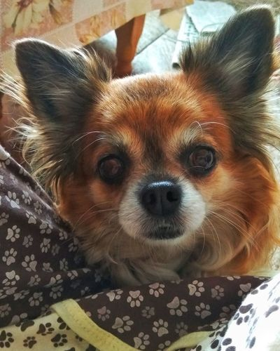 One Animal Domestic Animals Looking At Camera Animal Themes Mammal Pets Portrait Dog No People Nice Cute Cute Animals Dog Life Cute Dog  Smile Dog❤ Chihuahua Animal Photography Animal Portrait Dog Mini Dogs Of EyeEm Chihuahua Love ♥ Dogslife Animal Looking At Camera