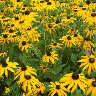 Black eyed Susans Flower Yellow Growth Beauty In Nature Nature Plant Day Petal Fragility Freshness Outdoors No People Green Color Blooming Black-eyed Susan Flower Head Close-up Love Where You Live Day Tripping North Carolina Summer Freshness Beauty In Nature Insect