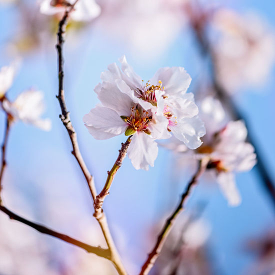 Almond Blossom Almond Tree Almond Tree Blossom Almond Tree Branch Apple Blossom Beauty In Nature Blossom Branch Close-up Day Flower Flower Head Fragility Freshness Growth Nature No People Outdoors Petal Plum Blossom Pollen Sky Springtime Tree Twig