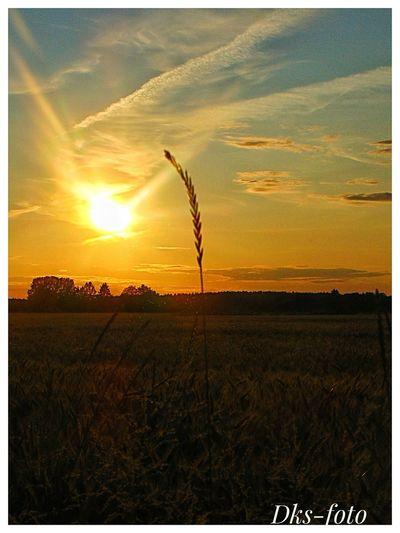sunrice Sweden