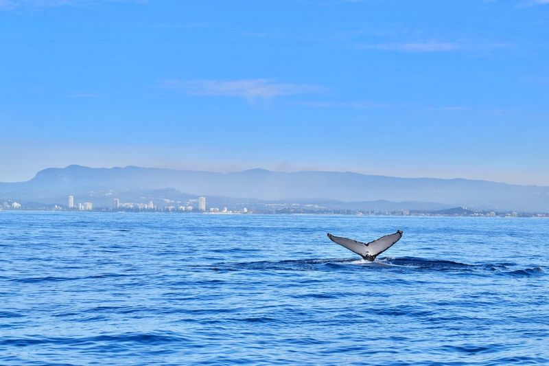 Blue Water Waterfront Mountain Sea Tranquil Scene Tranquility Scenics Rippled Seascape Beauty In Nature Calm Sky Nature Whale Animal Whale Watching Gold Coast Day No People Tourism Tail Ocean Humpback Whale