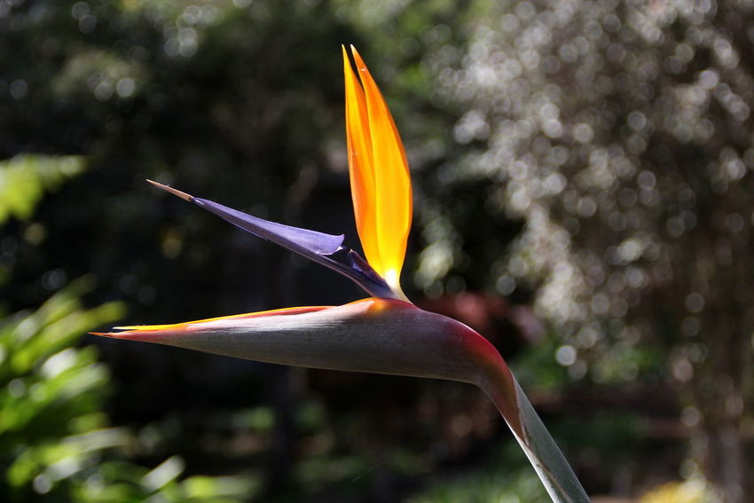 Beauty In Nature Bird Of Paradise - Plant Blooming Close-up Day Flower Flower Head Focus On Foreground Fragility Freshness Growth Nature No People Outdoors Petal Plant Tree