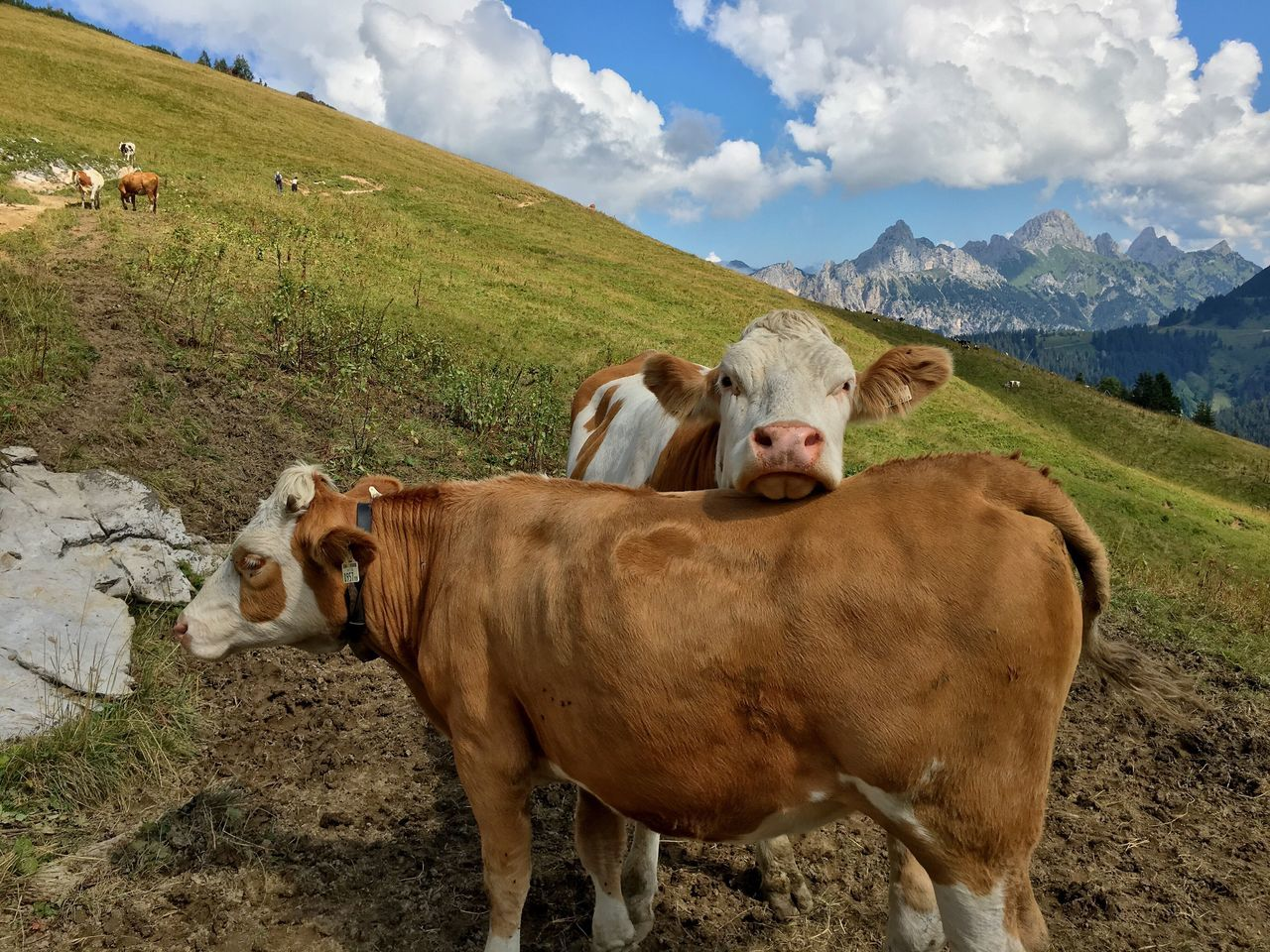 cow, animal themes, cattle, domestic animals, field, sky, livestock, mammal, landscape, no people, nature, day, farm animal, mountain, grass, domesticated animal tag, outdoors, beauty in nature