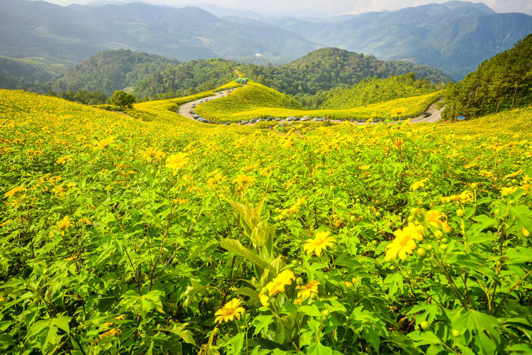 Yellow flowering plants on land against mountains