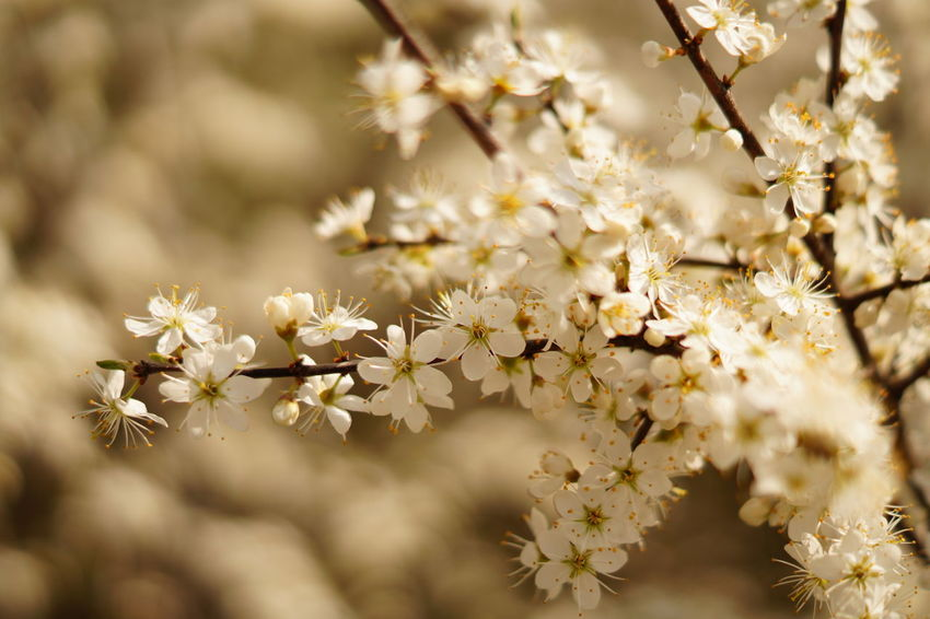 Cherry Blossoms Nature Springtime Tree Flower Beauty Blossom Beauty In Nature Bokeh Photography Bokeh Spring Spring2017 Outdoors Eye4photography  No People Flowermagic🌱 Photooftheday Floweroftheday