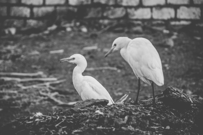 Cattle Egret Cattle Egrets Animal Themes Animal Wildlife Animals In The Wild Bird Birds Close-up Day Focus On Foreground Great Egret Nature No People Outdoors Perching Stork Togetherness White Stork