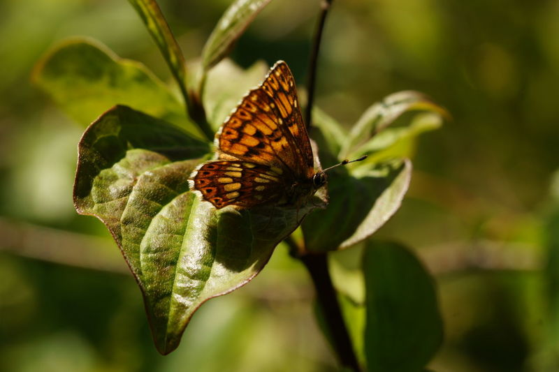 Animal Themes Animals In The Wild Beauty In Nature Butterfly Butterfly - Insect Close-up Day Duke Of Burgundy Fragility Freshness Insect Nature No People One Animal Outdoors Plant