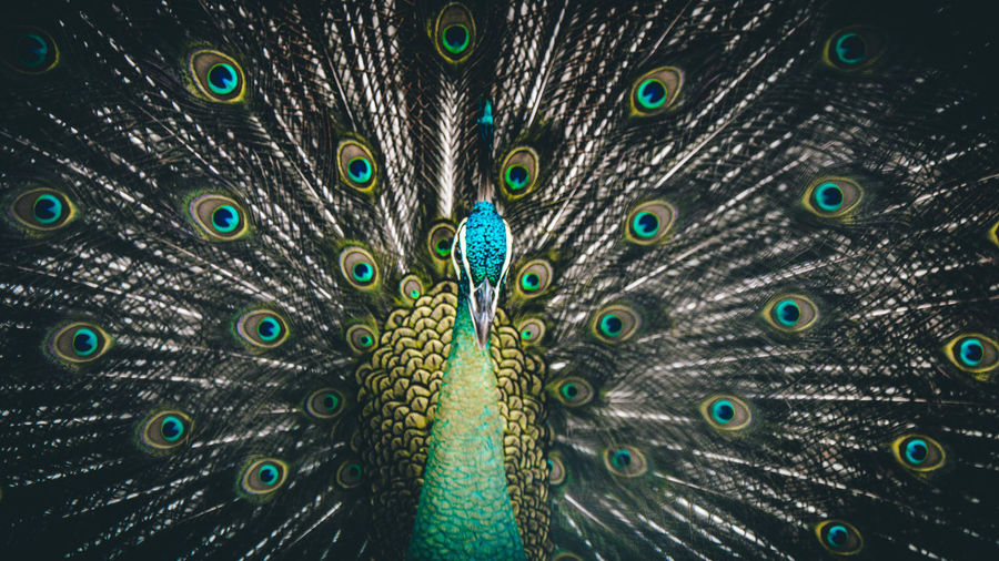 Peacock Animal Themes Bird Peacock Feather Animal Animal Wildlife One Animal Feather  Fanned Out Animals In The Wild Vertebrate No People Close-up Multi Colored Green Color Natural Pattern Beauty In Nature Full Frame Animal Body Part Male Animal Outdoors Animal Head  Blue Peafowl