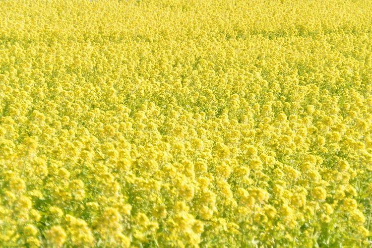 菜の花畑 Yellow Field Nature Flower Outdoors Beauty In Nature No People First Eyeem Photo Day EyeEmNewHere