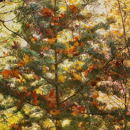 """""""Autumn Tree"""" decorated by nature Tree Nature Growth Leaf Branch Beauty In Nature Autumn No People Pinaceae Pine Tree Outdoors Day Low Angle View Scenics Tree Area Freshness Close-up Sky"""