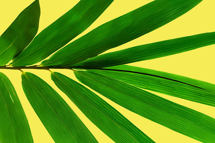 Green leaves are nine leaves isolated on yellow background Backgrounds Beauty In Nature Close-up Day Freshness Frond Green Color Growth Leaf Leaves Natural Pattern Nature No People Palm Leaf Palm Tree Pattern Plant Plant Part Sunlight Tree Tropical Climate