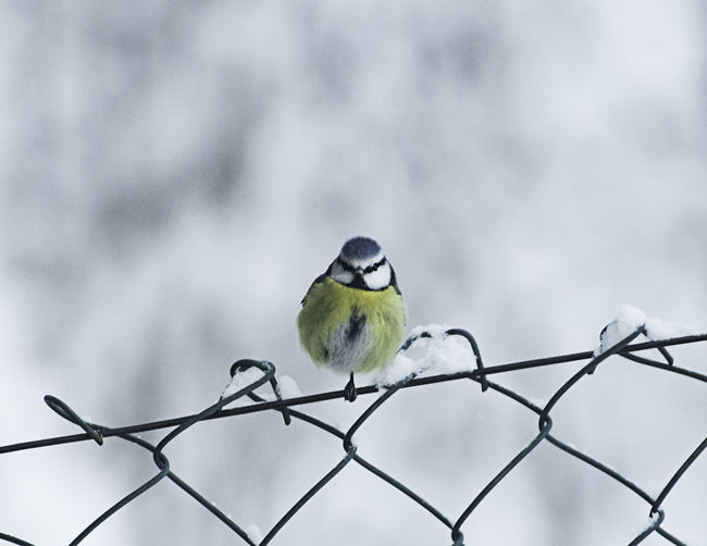 Bird on fence during winter Animal Animal Wildlife Bird Day Fence Focus On Foreground Metal Nature One Animal Outdoors Perching