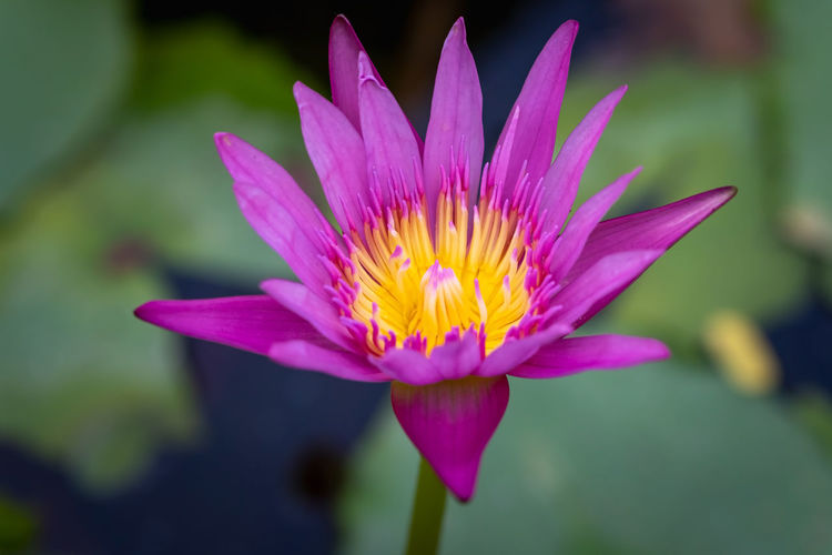 water lily in