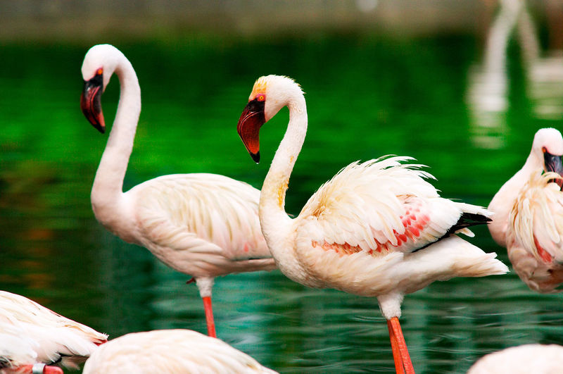 Animal Themes Avian Beak Beauty In Nature Bird Close-up Day Flamingo Focus On Foreground Lake Lakeshore Nature No People Outdoors Rippled Swan Water Water Bird Wildlife The Essence Of Summer