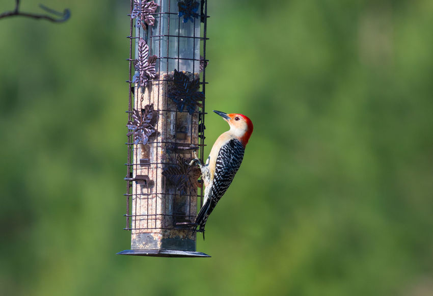 Woodpecker Animal Animal Themes Animal Wildlife Animals In The Wild Bird Bird Feeder Close-up Day Focus On Foreground Green Color Nature No People One Animal Outdoors Perching Plant Selective Focus Tree Vertebrate Woodpecker