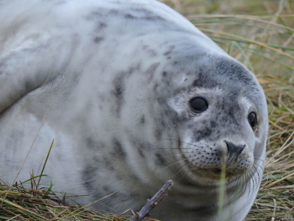 It's always a good day when you visit the seals at Donna Nook ... Animals In The Wild Beauty In Nature Day Donna Nook Eyeem Animal EyeEm Best Shots EyeEm Nature Lover Grey Seal Mammal Nature No People One Animal Our Best Pics Outdoors Seal Seal Pup Wildlife Photography