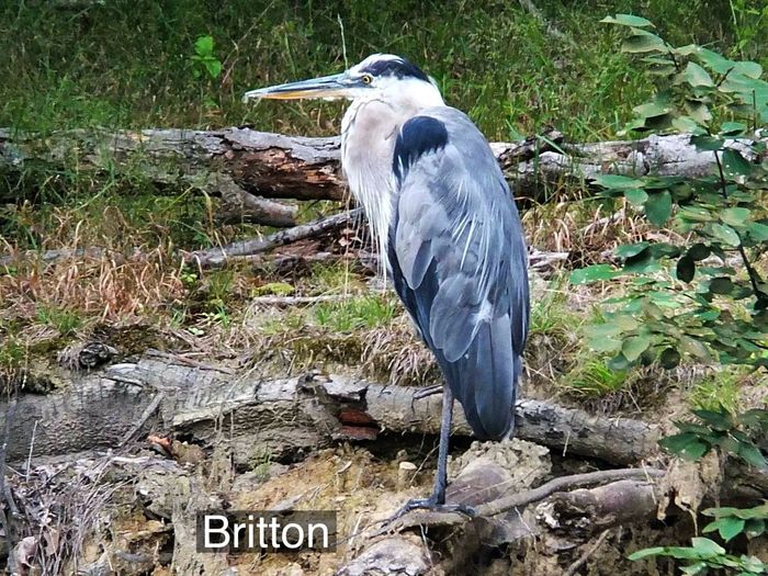 Blue Heron relaxing by the river at the Rocky River Reservation EyeEm Nature Lover EyeEm Best Shots