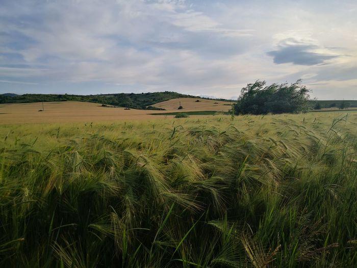 Bulgarian fields