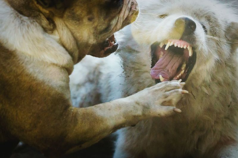Angry Dogs Fighting Outdoors