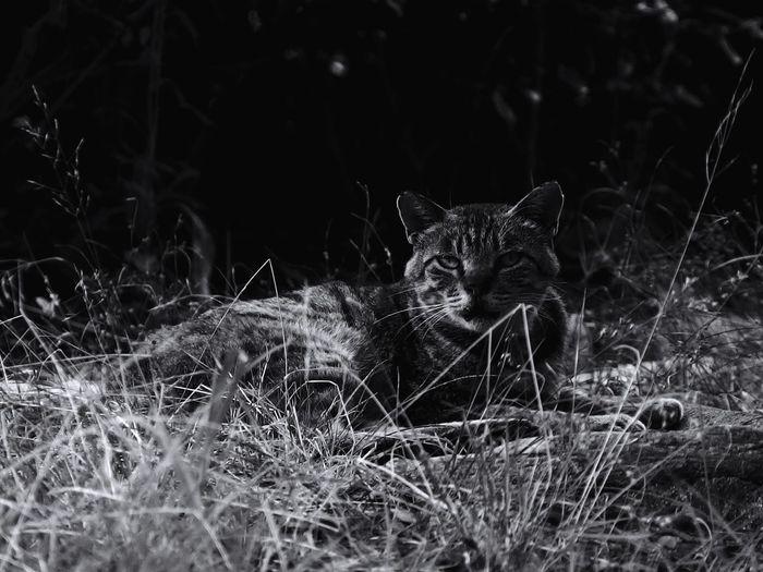 戦闘タイプのら 猫 ねこ ねこ Cat Cat♡ Cats Cat Lovers Animal 山猫 Neko